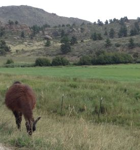 Father Andy and I saw this llama as we were leaving the Walberga abbey on Tuesday, Aug. 28, 2018.