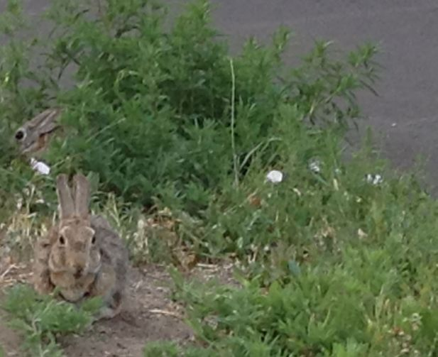I saw one rabbit when I took the photo on Sunday, July 15, 2018. Can you see the other?